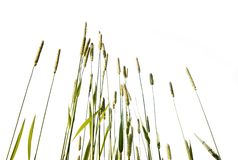 Lang gras dat op witte achtergrond wordt geïsoleerde stock foto