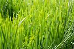 Lang gras met bladen Stock Afbeeldingen