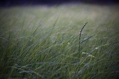 Lang gras op een moerasgebied, met ruimte voor tekst stock foto's
