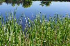Lang gras op rand van vijver stock foto