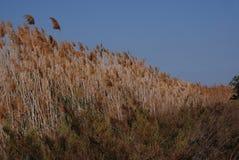 Lang grasrijk riet die in Spanje groeien Stock Afbeelding