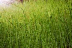 Lang groen gras royalty-vrije stock foto's