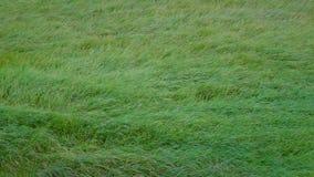 Lang groen gras die zich in de wind bewegen stock videobeelden