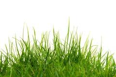 Lang groen gras op een witte achtergrond Royalty-vrije Stock Foto