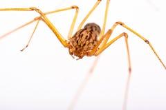 Lang-mit Beinen versehene Spinne stockfoto