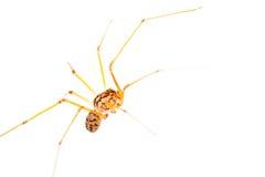 Lang-mit Beinen versehenes Spinnenmakro stockfoto