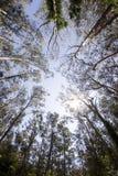 Lang Nationaal Monument Mi van het Hout van Muir van de Bomen van de Californische sequoia Stock Foto