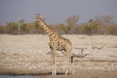 Lang-necked Giraf bij waterhole royalty-vrije stock foto