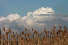 Lang onkruid tegen een wolk gevulde hemel stock foto
