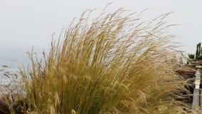 Lang Overzees Gras die in Wind met Oceaan op Achtergrond blazen stock videobeelden