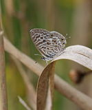 Lang's short tailed Blue Royalty Free Stock Photography