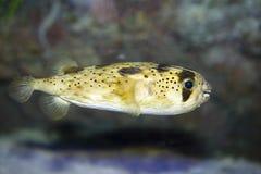 Lang-Spined porcupinefish royalty-vrije stock afbeeldingen