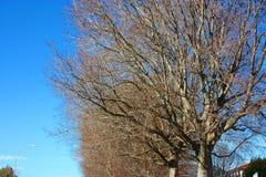 Lang trockene Niederlassungen eines hohen bloßen Baums gegen einen blauen Himmel lizenzfreie stockbilder