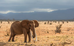 Lang tusked rode olifant Royalty-vrije Stock Afbeelding