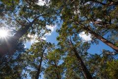 Lange Australische bomen in een bos die tot een blauwe hemel bereiken stock afbeeldingen