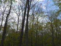 Lange Baum-Stämme und blaue Himmel Lizenzfreies Stockfoto