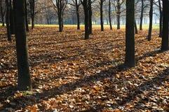 Lange Baumschatten auf herbstlicher Blattabdeckung Stockfoto