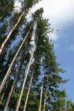 Lange bomen Stock Fotografie