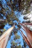 Lange Bomen Royalty-vrije Stock Foto's