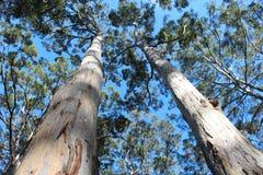 Lange Bomen Boranup Karri Forest West Australië Royalty-vrije Stock Afbeelding