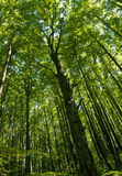 Lange bomen in bos Royalty-vrije Stock Afbeelding