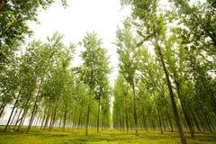 Lange bomen in de zomer Royalty-vrije Stock Afbeelding