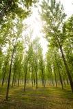 Lange bomen in de zomer Stock Foto's
