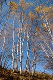 Lange bomen met gele bladeren onder blauwe hemel Royalty-vrije Stock Afbeelding