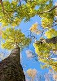 Lange bomen met gele bladeren onder blauwe hemel royalty-vrije stock foto's