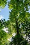 Lange bomen met groen gebladerte tegen de blauwe hemel stock afbeelding