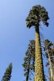 Lange bomen met mos behandelde boomstammen Royalty-vrije Stock Afbeeldingen