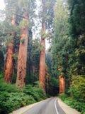 Lange bomen met weg Stock Afbeelding