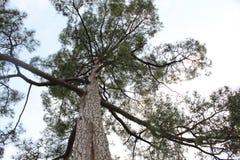 Lange bomen van de berg van Himalayagebergte royalty-vrije stock foto's