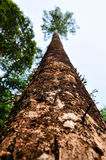 Lange boom in bos Stock Afbeeldingen