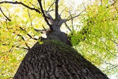 Lange boom met donkere van het boomschors en mos bladeren in groene geel of Stock Afbeelding