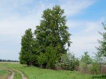 Lange boom met een weelderige groene kroon stock foto