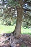 Lange boom met grote wortels royalty-vrije stock afbeelding
