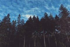 Lange bosbomen met een blauwe hemel en wolken Stock Afbeelding