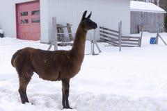Lange bruine lama die zich trots in profiel in geschermde pen bevinden stock fotografie
