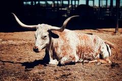Lange buffelshoorn in Texas stock foto's