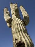 Lange Cactus Royalty-vrije Stock Afbeeldingen