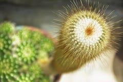 Lange cactus die befire bloeien Stock Afbeeldingen