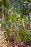 Lange cactus in een cactustuin Stock Afbeelding