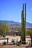 Lange cactus in Mexico Stock Fotografie