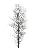 Lange die populierboom op wit wordt geïsoleerd Royalty-vrije Stock Afbeelding
