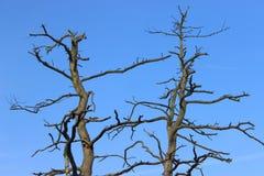 Lange dode pijnboomboom met squiggly en donkere takken zonder schors Weergeven van de boom hoogste en blauwe hemel letland stock afbeelding
