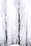 Lange dunne sneeuw behandelde bomen Stock Afbeelding