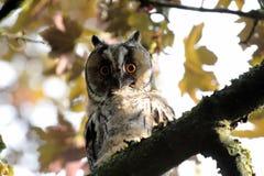 Lange eared uil op een boomtak Stock Foto's