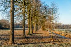 Lange eiken bomen met rechte boomstammen in twee rijen Stock Foto's