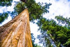 Lange en grote sequoia's in mooi sequoia nationaal park royalty-vrije stock fotografie